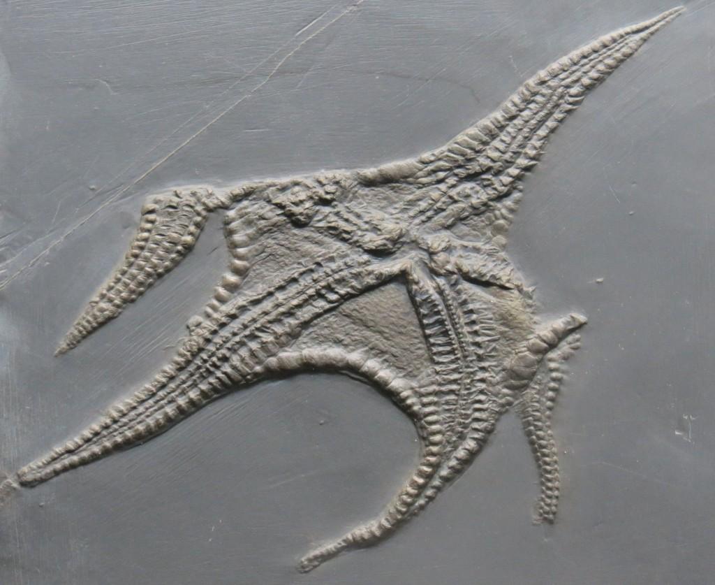 400 Millionen Jahre alter Seestern – als wäre er gestern im Schlick versunken